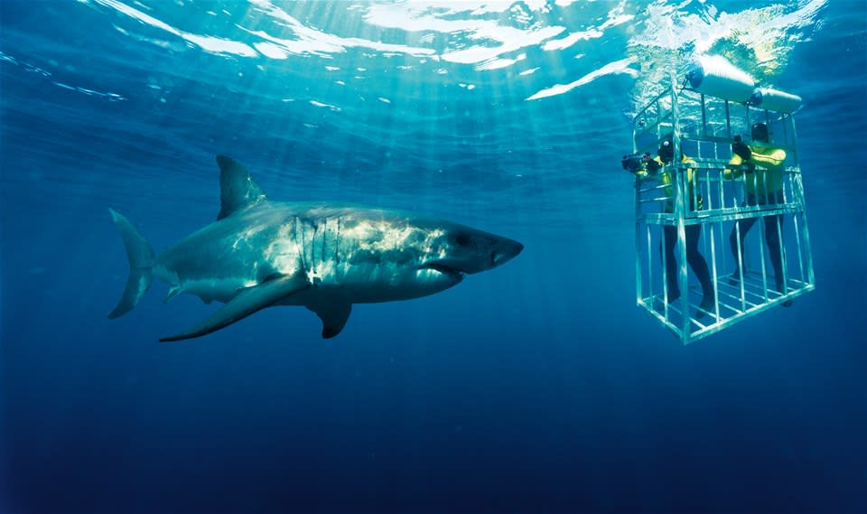 Shark Cage Diving Tour From Cape Town with Transfers