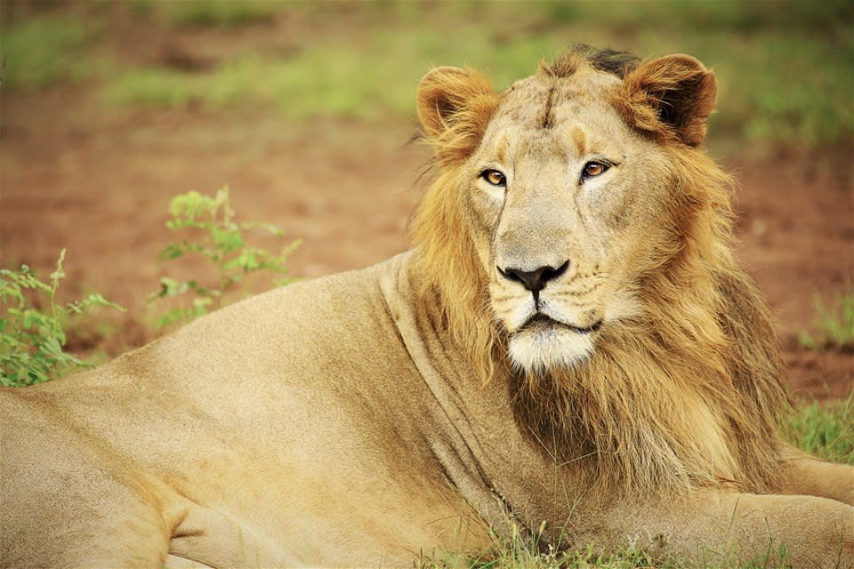 Asiatic Lion Extension