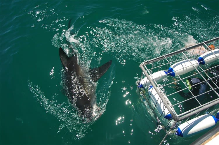 Shark Cage Diving Tour from Hermanus