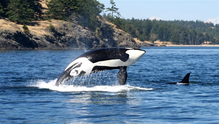 Victoria Whale Watch Cruise by Covered Boat