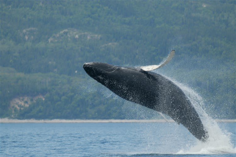 Tadoussac Whale Watch Cruise by Covered Boat