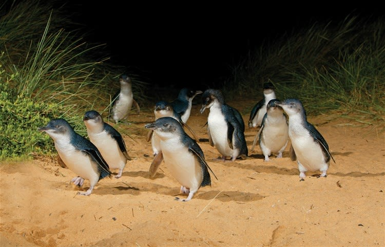 Phillip Island - Nature & Wildlife with Penguin Parade Platform